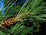 Pinus-attenuata.jpg