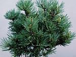 Pinus-flexilis.jpg