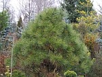 Pinus-jeffreyi.jpg