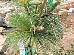 Pinus-schweriniii.jpg
