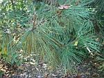 Pinus-thunbergii.jpg