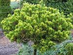 Pinus-virginiana.jpg