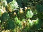 Pinus-wallichiana.jpg