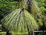 Pinus_palustris.jpg