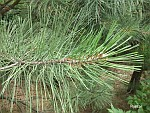 Pinuscoulteri.jpg