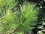 Pinusresinosa.jpg