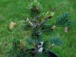 abies-pindrow.jpg