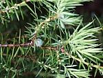 jalowiec-pospolity-juniperus.jpg