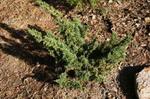 juniperuschinensis.jpg