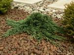 juniperushorizontalis.jpg