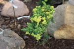 juniperusprocumbens.jpg