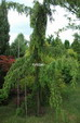 juniperusrigida.jpg