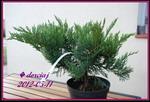 juniperussabina.jpg