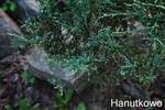juniperusscopulorum.jpg