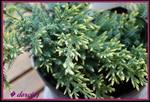 juniperussquamata.jpg