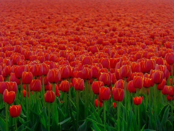 tulipany-3.jpg