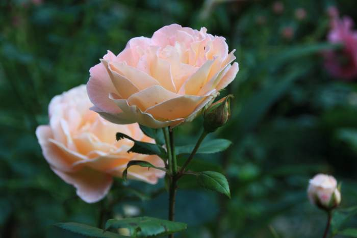 rosemary-2.jpg