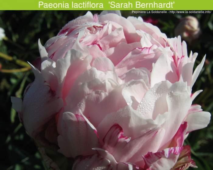 9533_Paeonia_lactiflora__SarahBernhardt.jpg