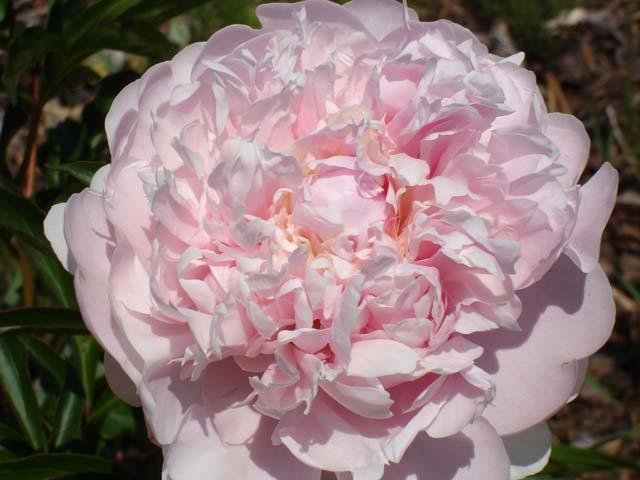Paeonia_lactiflora__Albert_Crousse__1.jpg
