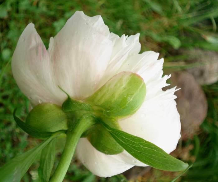 officinalisAlbaPlena-.jpg