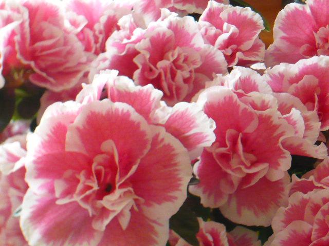 kwiatyazaliiroz.JPG
