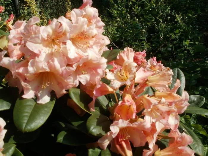 rododendronFlautando.jpg