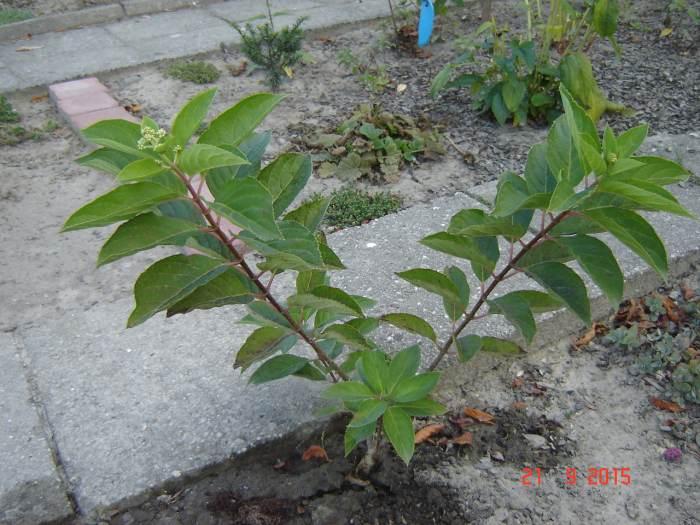 SiewkaH.Grandiflorawysiaasiw2013r.jpg