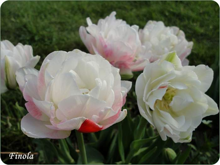TulipanFinola2.JPG