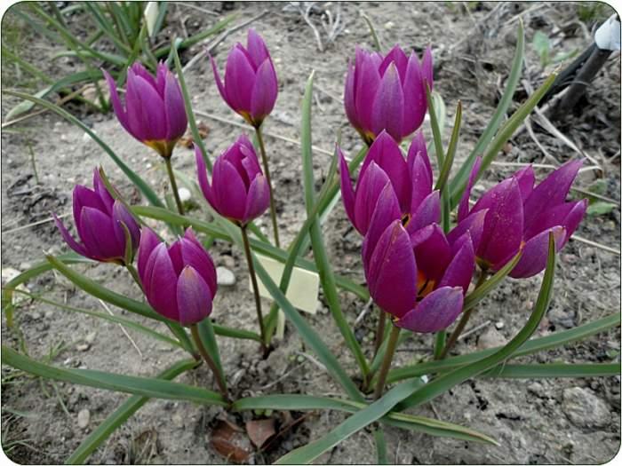 tulipan11.JPG