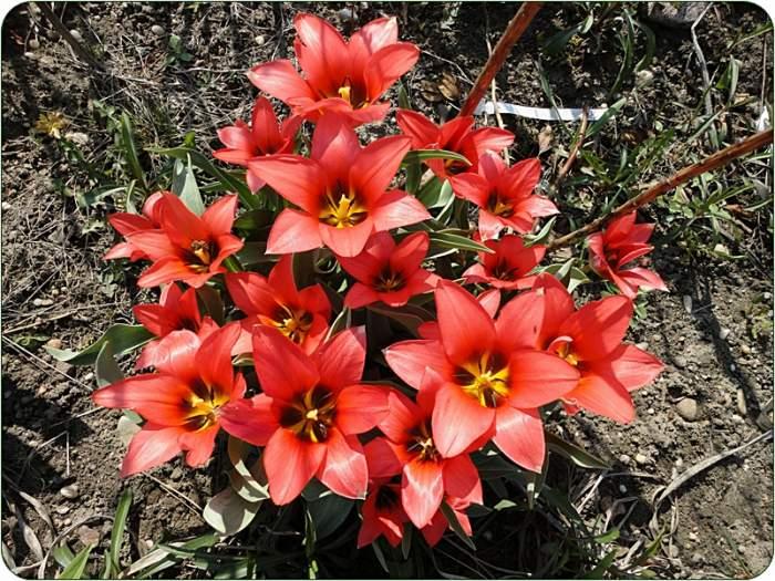 tulipan8.JPG