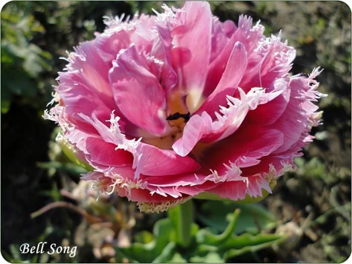 tulipanBellSong.JPG