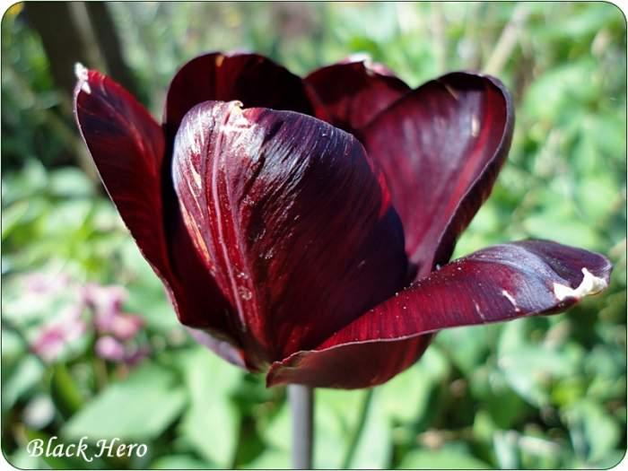 tulipanBlackHero2.JPG