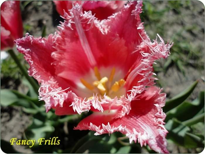 tulipanFancyFirlls.JPG