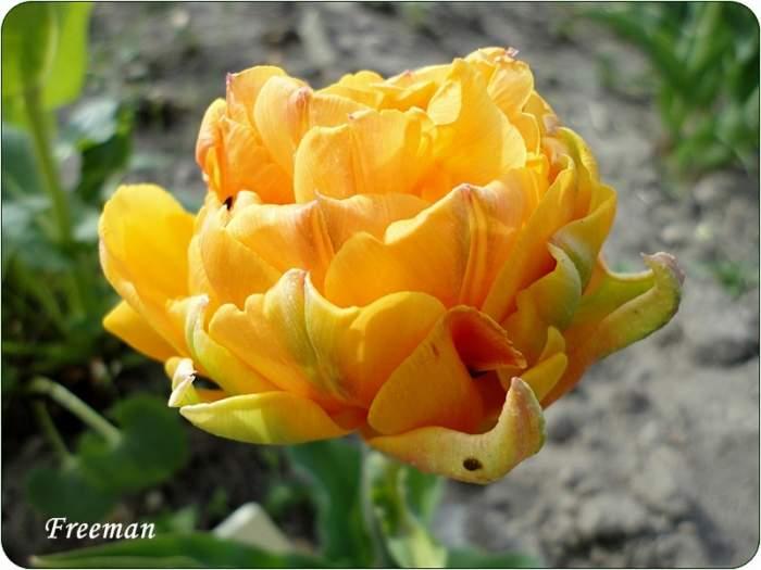 tulipanFreeman.JPG
