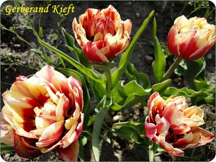 tulipanGerberandKief.JPG
