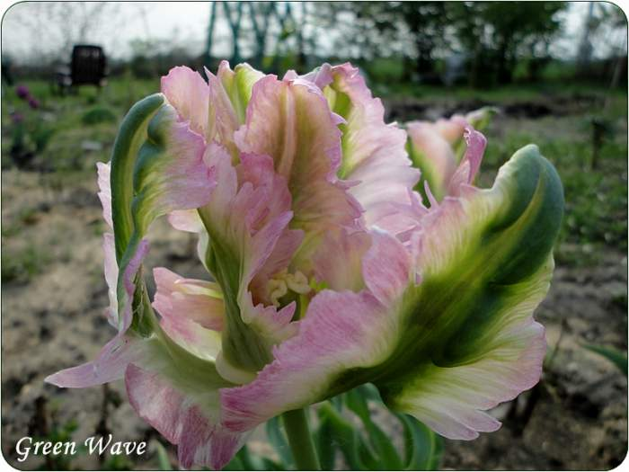 tulipanGreenWave.JPG