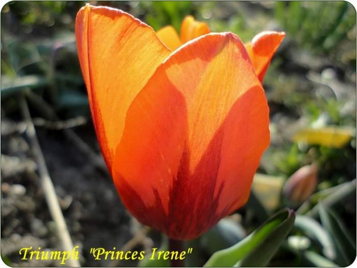 tulipanPrincesIrene.JPG