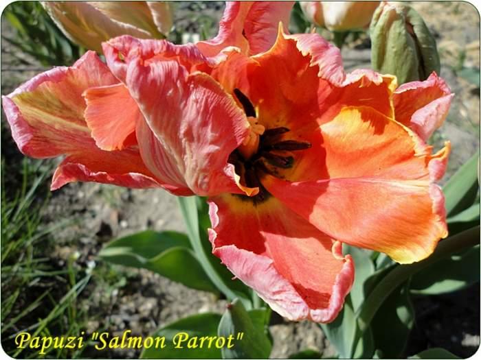 tulipanSalmonParrot.JPG