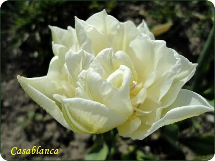 tulipancasablanca.JPG