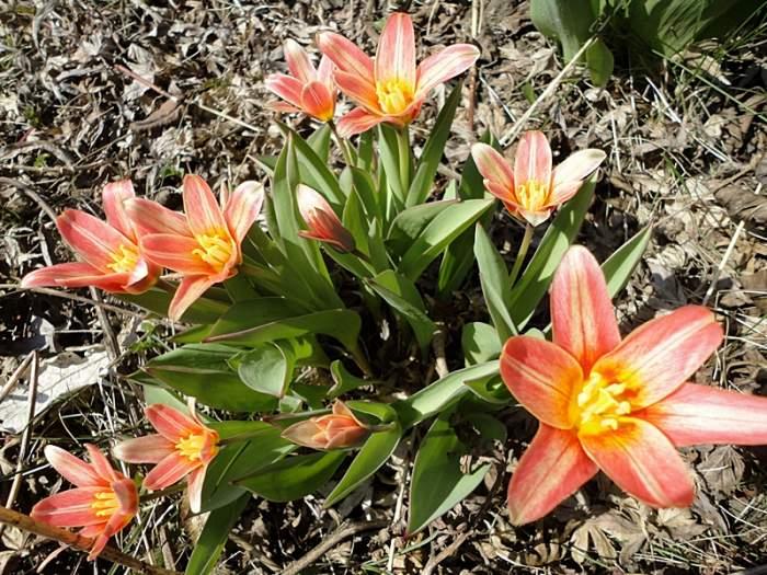 tulipanek.JPG