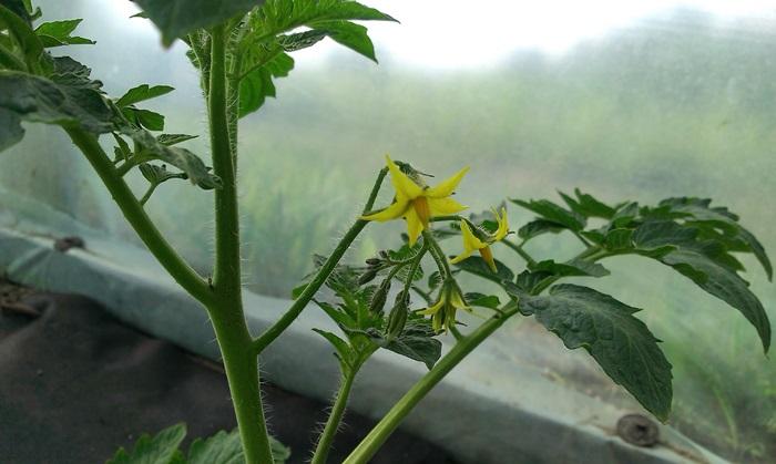 kwiatuszkipomidorka.jpg