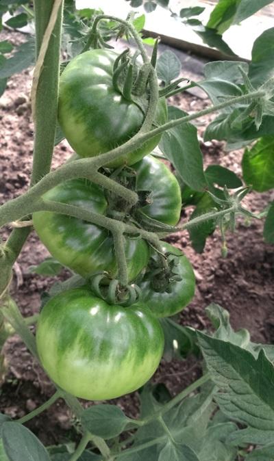 pomidorcaspianpink.jpg