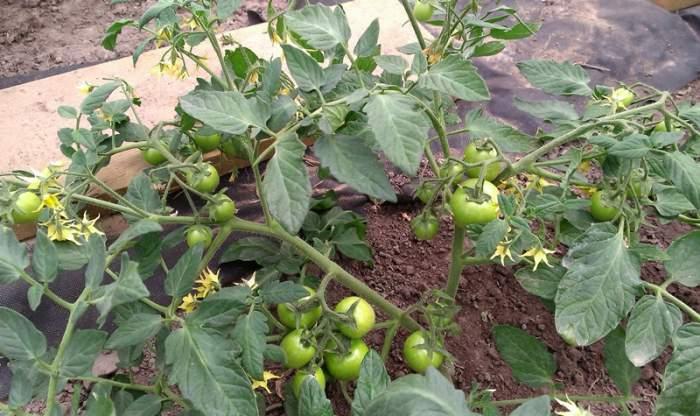 pomidormaskotkazmieniakolor.jpg