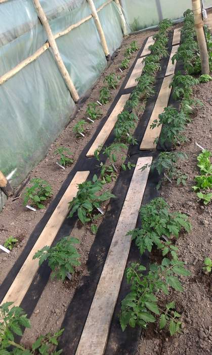 pomidoryrozsadapoprzejciach.jpg