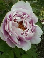 26085273_200.1369566081kwiatpiwonii.jpg