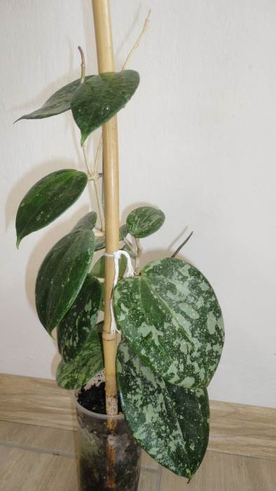 macrophyllasplash.jpg