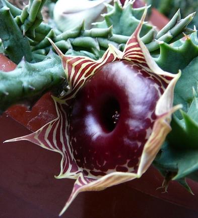 huerniazmagniflora.jpg