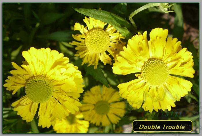 DoubleTroubledzielanogrodowy01-08-18OA.jpg