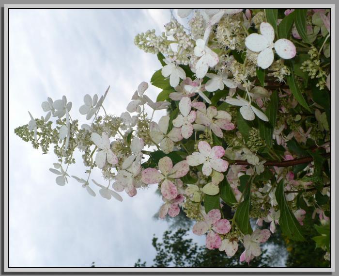 Kyushuh-buk-drzewko30-07-16rowykolordolnychpatkw.jpg