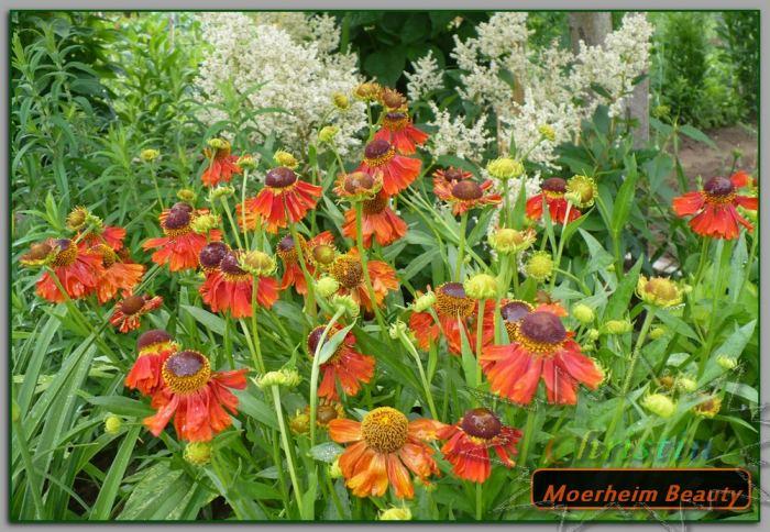 MoerheimBeautyzakwitpierwszy26-06-18OA.jpg